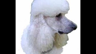 Poodle Lover/trainer - This Book Has Something For Everyone.