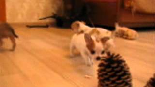 Фильм с щенками чихуахуа