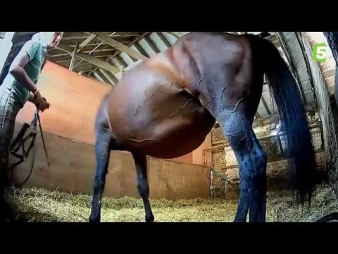 Naissance d'un bébé cheval en direct / Mise bas jument poulain - ZAPPING SAUVAGE