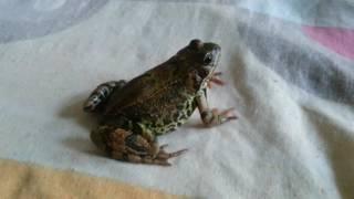 Травяная лягушка (Rana temporaria). Кормление. European common frog. Feeding time. (09.07.2016)