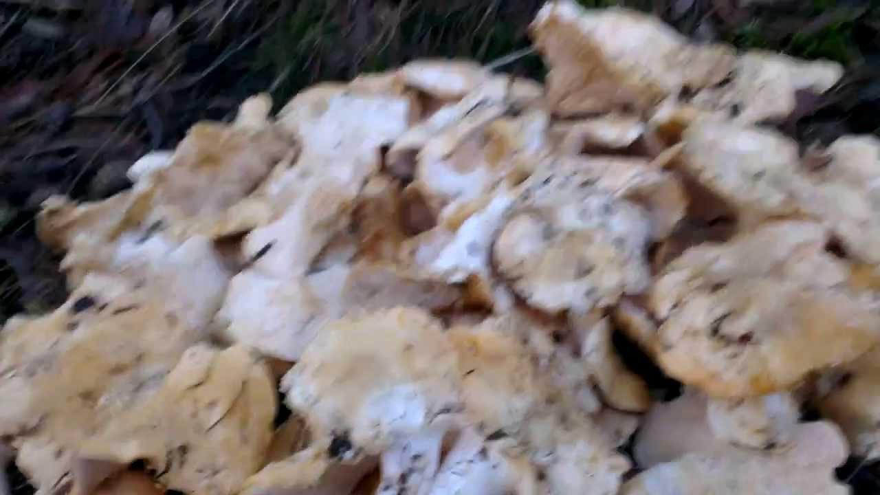 cuiellette champignons pied de mouton en ardeche le 05 janvier 2014 - YouTube