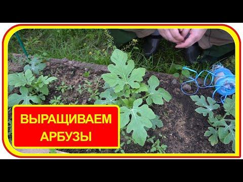 Как вырастить арбузы в теплице из поликарбаната своими руками. Выращивание арбузов и дынь