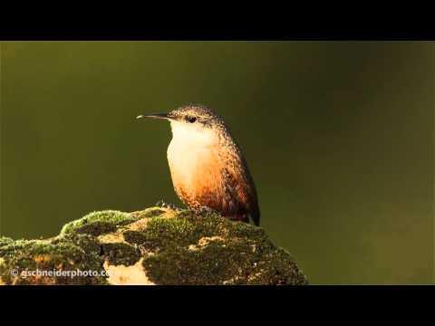 Canyon Wren singing