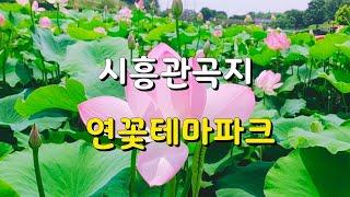 [서울 근교 여행지 추천]#시흥관곡지 #연꽃테마파크 7…