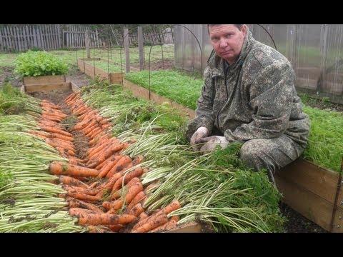 видео: Как вырастить урожайную морковь на высоких грядках