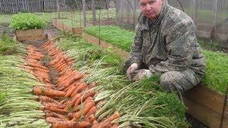Как вырастить урожайную морковь на высоких грядках(Заказать семена этого сезона Вы можете на специальном сайте: http://semena.svoitomaty.ru/ Подробнее о выращивании морко..., 2013-09-17T14:06:26.000Z)