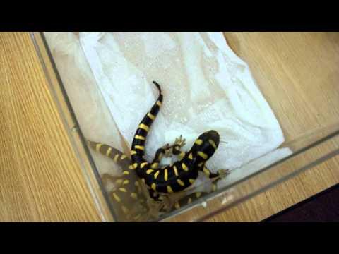 Tiger Salamander eats cricket
