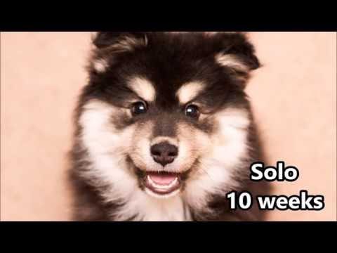 Solo - Finnish Lapphund - Training - 10 weeks