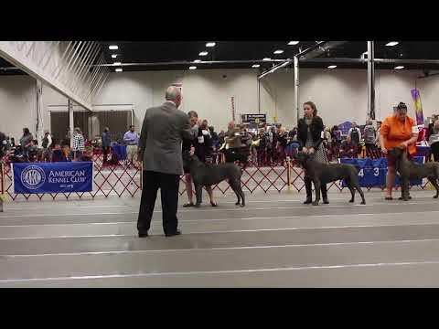 San Rocco Cane Corso - Blue Male wins AKC dog show event.
