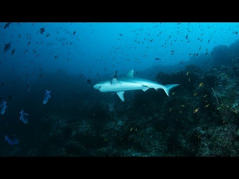 SHARK: Diving with Grey reef shark in Indian ocean, Maldives