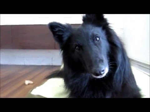 Kapi Deabei the Belgian Sheepdog