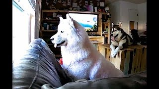 Spy Cam Catches My Dogs Home Alone & Their Excitement When I Get Home