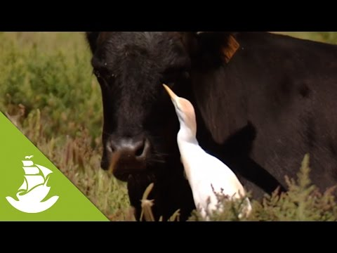 The Cattle Egrets, An Intelligent Relief For The Bulls