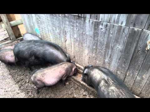 Кормление вьетнамских вислобрюхих свиней