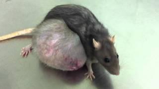 Гигантская опухоль у крысы