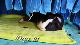 Cleaning the Guinea Pig Cage (Vlogmas #21)
