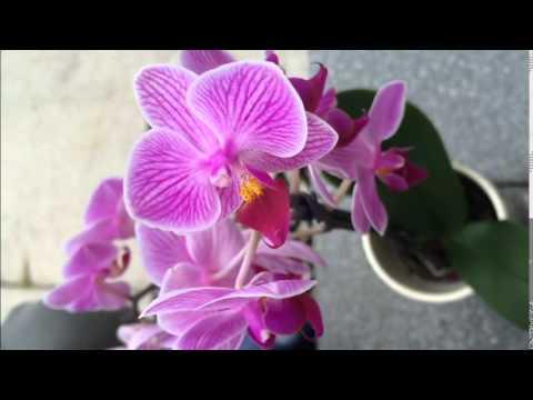 How To Pollinate Orchid - روش لقاح مصنوعی و بذر گیری از گل ارکیده thumbnail
