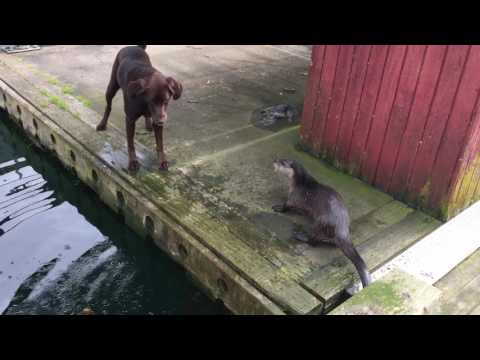 Otters playing with Labs
