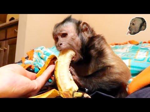 Capuchin Monkey & Mushy Banana (Part 2)