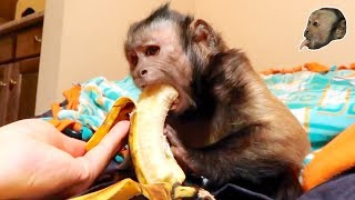 Capuchin Monkey & Mushy Banana (Part 2)