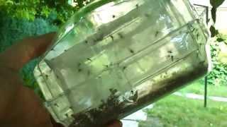 Mosquito Magnet Executive. Комариный улов за ночь работы москито киллера. Защита от комаров