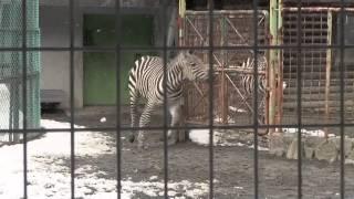円山動物園のグラントシマウマ、ヒュウマ(オス/2歳)、スモモ(メス/25...