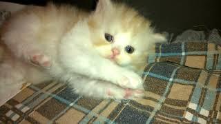 """Шотландские длинношерстные котята ,помет """"Т"""" - 1 месяц"""