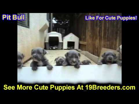 Pitbull, Puppies, For, Sale, In, Philadelphia, Pennsylvania, PA, Borough, State, Erie, York