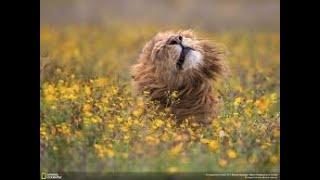 ÇÖLDE KALMIŞ BİR ASLAN HİKAYESİ!!! AKSİYON DOLU !!!  Türkçe Hayvan Belgeseli  National Geographic