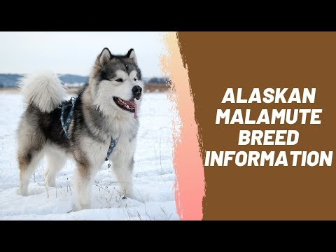 Alaskan Malamute Breed Information