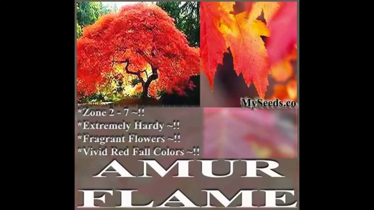 Amur Flame Maple Tree Seed Acer Tataricum Ginnala Japanese Maple