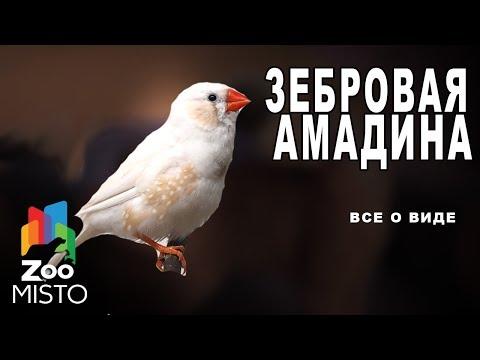 Зебровая амадина - Все о виде птицы |Вид птицы - Зебровая амадина