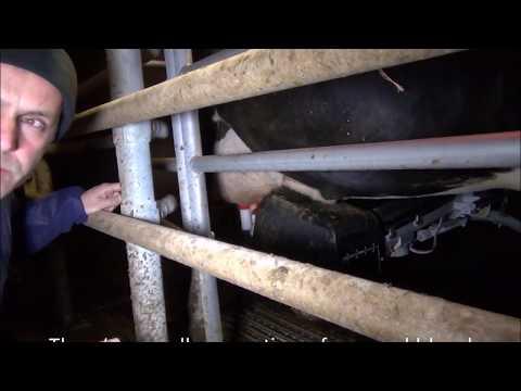 Veganuary visits British dairy farm
