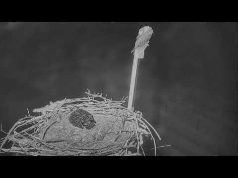 Osprey Nest - Charlo Montana Cam 07-23-2017 03:54:07 - 04:54:07