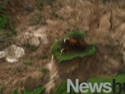 Raw New Zealand Earthquake Strands Cows
