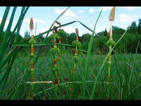 Хвощ полевой — лечебные свойства и применение