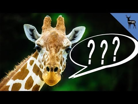 What Does The Giraffe Say?