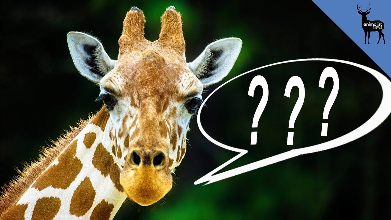 What does the giraffe say youtube what does the giraffe say biocorpaavc Images