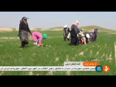 Iran Herbal plants & Persian cumin cultivation, Gonbad-e Kavous گياهان دارويي و زيره سياه گنبدكاووس