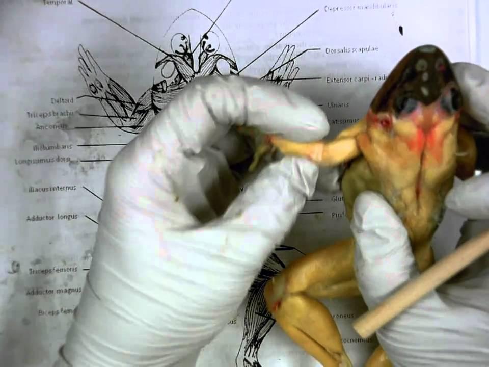 Frog Dorsal Muscles Youtube