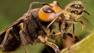 30 wasps to win 3 ten thousand honey bees - the scariest dangerous insects in the world