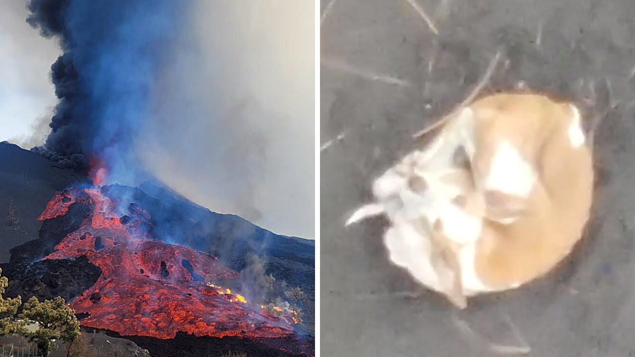 🚨 ÚLTIMA HORA: Gases TÓXICOS y el RESCATE más esperado (Erupción Volcánica Lava) La Palma 2021