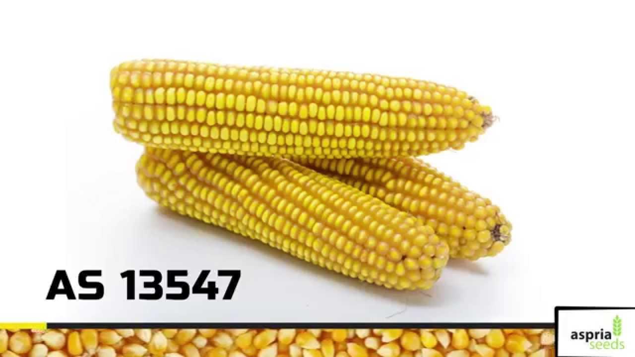 Download Гибрид кукурузы AS 13547 (ФАО 540)