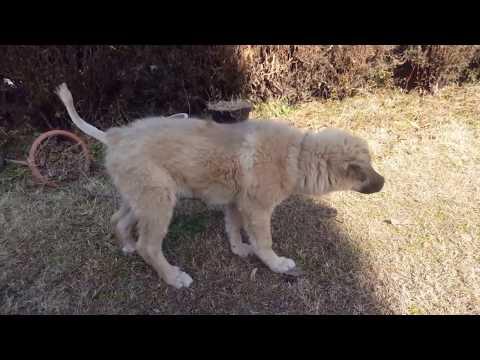 Walk with Gaddi Dog Puppy | Bakarwal Dog Puppy | Gaddi Kutta | Training Tibetan Mastiff Puppy