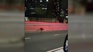 Sydney: Wallaby liefert sich Verfolgungsjagd mit Polizei