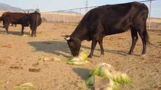 greenergrass production bovin viande