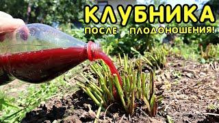 Сделайте это с клубникой в июле августе после плодоношения для супер урожая в следующем году!