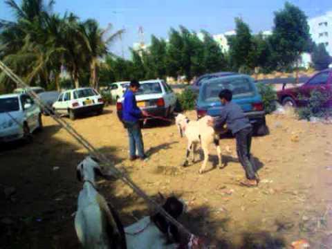 Masoom and Ardial Goat for Eid-ul-Adha 2009 by Noman and Burhan