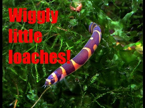 These Stripy Guys Give Me The Willies! Kuhli Loaches!