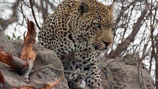 Leopard VS Ostrich